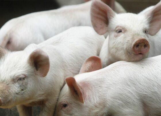 Pesta porcina Vaslui